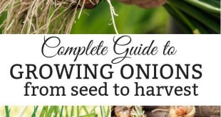 A Complete Guide to Growing Onions from Seed to Harvest