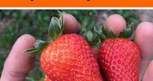 Erdbeeren lassen sich mit diesen wichtigen Tipps besonders einfach anbauen. Hier ist alles .....