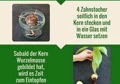 Avocadokern einpflanzen: Vermehrung & Anbau leichtgemacht Avocado anbauen ist gar nicht so schwierig. Zum Anpflanzen braucht man lediglich einen Avocadokern und etwas Geduld. Eine genaue Anleitung findet Ihr auf Plantura.