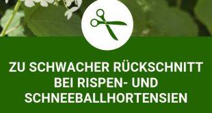3 große Fehler beim Hortensienschnitt: Zu schwacher Rückschnitt bei Rispen- und Schneeballhortensien