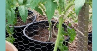How and Why You Should Prune Tomato Plants