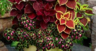 Kreativer Landwirt Velvet Ornamental Plants Seeds