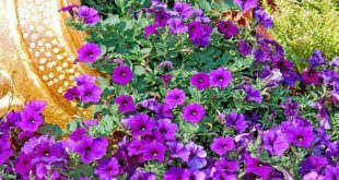 Petunien, die von einem gekippten Pflanzer überlaufen - Kay Barfield